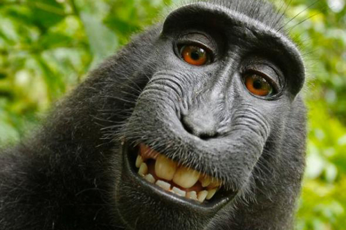 Monkey-selfie-backgrounds