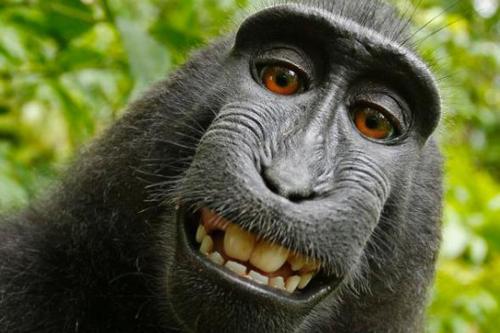 Monkey-selfie-backgrounds